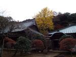 早雲寺本堂と銀杏