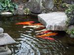 東覚寺苑池の鯉