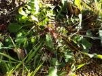 ハルノノゲシ(オニノゲシ)の根生葉