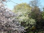 染井吉野の先に山桜