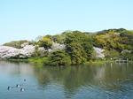 桜を映す大池