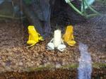 南米のドクガエル