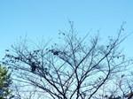 落葉の桜木と青天