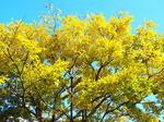 名は知れぬ黄葉の美しい木
