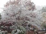 染井吉野の擬霧氷?