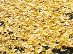 神宮外苑銀杏の敷き紅葉
