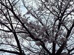 染井吉野、三部から五分咲き