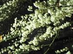 満開・夜桜