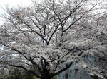 南面の巨大桜
