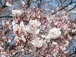 5分咲き標本木
