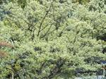 コナラ(小楢)の新緑