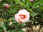立薔薇桜色