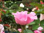 立薔薇ピンク