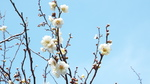 十二所果樹園の白梅