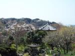 檑亭の庭から観る山桜