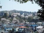北鎌倉の桜風景