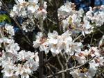 八幡宮流鏑馬馬場の静桜