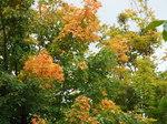 メイプルロッジの紅葉