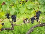 宝水園の葡萄