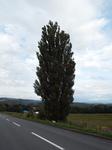 ケントメリーの木