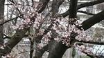 標本木の開花状況