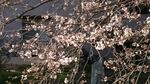 2019.03.25の染井吉野