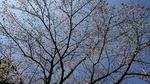 3月27日午後の標本木
