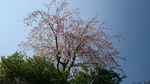 紅枝垂れ桜