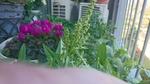 ホウレンソウの雌花