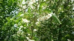 卯の花(ウツギ)