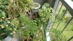 パセリの花