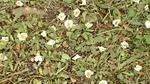 落ちたヒメシャラの花