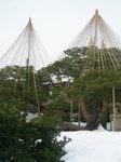 雪吊りの赤松