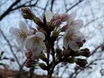 我が私的桜標本木の開花