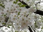 植栽の大島桜