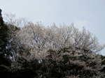 自生の山桜
