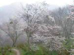 吉野の山桜