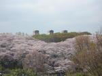 桜の向こうに旧競馬場の廃墟