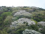 山桜淡紅のグラデーション