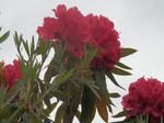 セイヨウシャクナゲ(西洋石楠花)