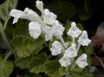 コバノタツナミ(小葉の立浪)白花