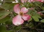 アメリカハナミズキ紅花