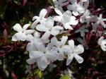 ソケイ(素馨、花から香油・ジャスミンを採る)