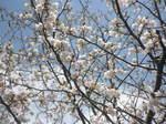 下栗の里に咲く山桜