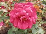 薔薇・ヴィクトル・ユーゴー(フランス産)