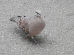 キジバト(雉鳩)