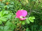 浜茄子の花