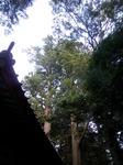 神社裏手の夫婦杉、樹齢四五百年