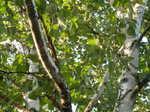 白樺の枝と葉