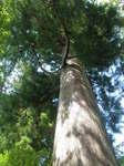 境内の大杉